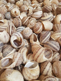 Shells - 500 Large Escargot/Snails Shells for Shelldwelling Cichlids / Tank Decor