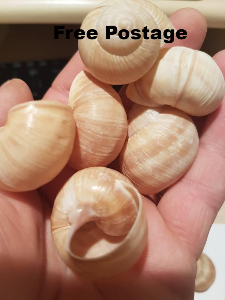 Shells - 190 Large Escargot/Snails Shells for Shelldwelling Cichlids / Tank Decor