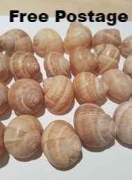 Shells - 140 Large Escargot/Snails Shells for Shelldwelling Cichlids / Tank Decor