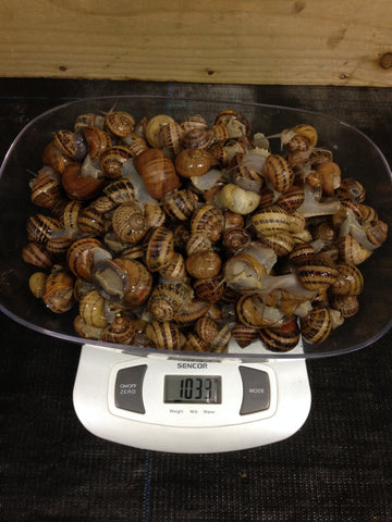 Live Snails ( Reptile Live Food ) - 100 small size snails