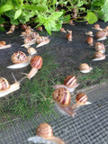 Live Snails ( Reptile Live Food ) - 50 small size snails