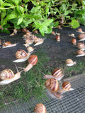 Live Snails ( Reptile Live Food ) - 150 medium + 150 small size snails