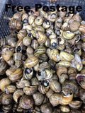 Second class Live Snails (Reptile Live Food )- small damage of shells -70 snails
