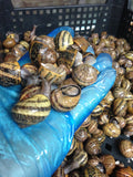 Second class Live Snails (Reptile Live Food )- small damage of shells -130 snails