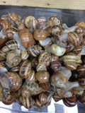 Live Snails ( Reptile Live Food ) - 50 medium + 50 small size snails