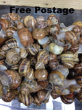 Live Snails ( Reptile Live Food ) - 100 medium size snails