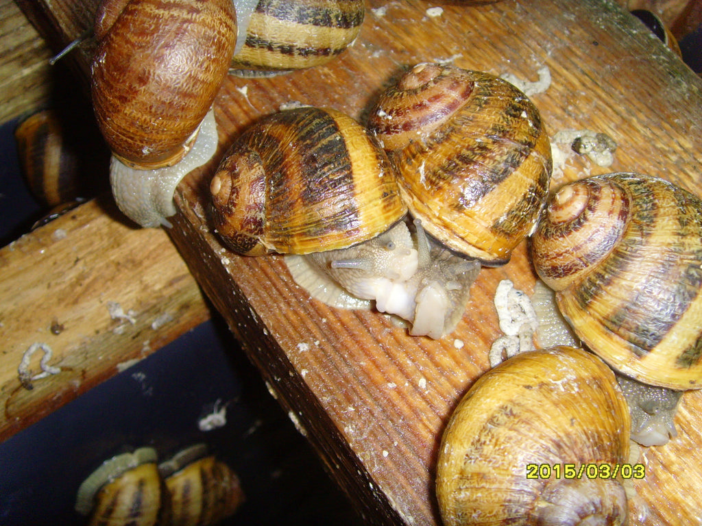Breeding Snails - Helix Aspersa Muller ( 10 )