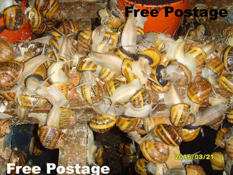 Breeding Snails - Helix Aspersa Muller ( 20 )