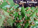 Live Snails ( Reptile Live Food ) - 150 baby super small size snails