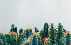 In Focus: Everything you Need to Know about Cactus Seed Oil
