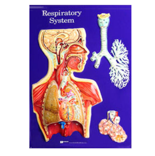 "Respiratory System Model Only - 24"" X 18"", Educational Kit Grades 3-9 -"