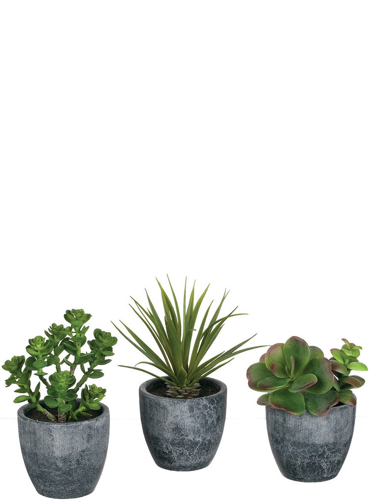 "5-7"" Assorted Potted Succulents"