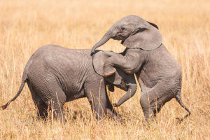 Elephants Playing
