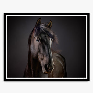 Cartola the Lusitano Stallion No.2