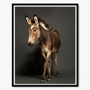 Daisy the Zonkey