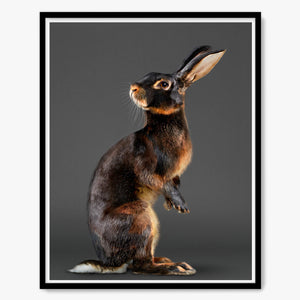 Jack the Belgian Hare