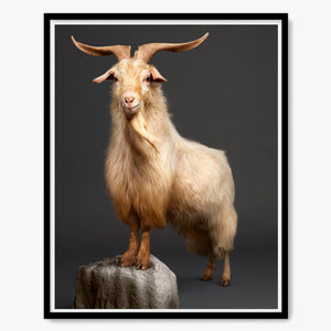 Kristof the Cashmere Goat