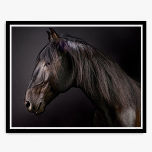 Portrait of Cartola the Lusitano Stallion