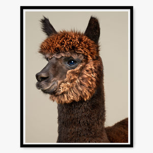 Rah the Huacaya Alpaca
