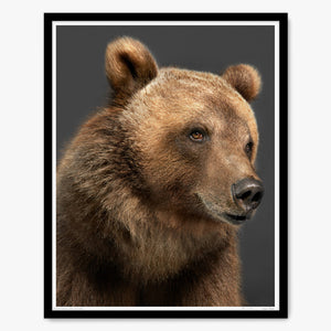 Portrait of Tag the Kodiak Bear