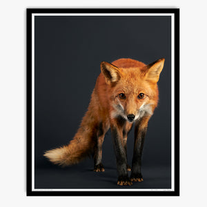 Tuck the Red Fox Hunting