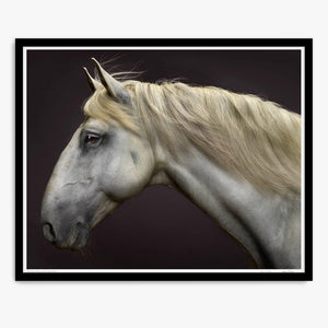 Portrait of Zap Du Voga the Lusitano Stallion