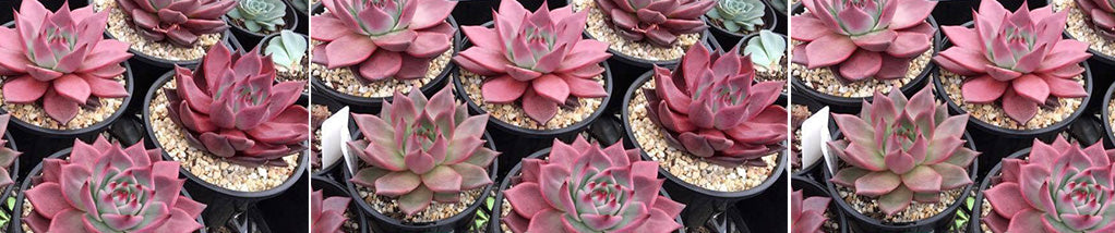Echeveria Growing Tips for Difficult Varieties