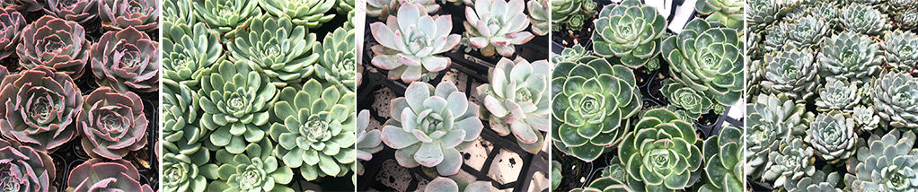 How to grow Echeveria's