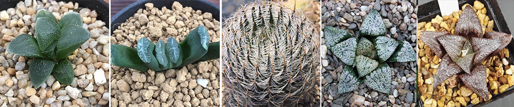 Haworthia: Growing Them and some tips on Soil Mixes.