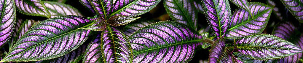 Persian Shield -Tips on growing!