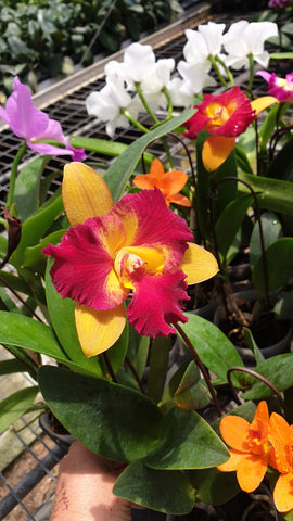 Cattelya Orchid Red Yellow