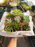 Gift Box Succulents - Assorted Starter Pack LOCAL DELIVERY ONLY
