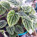Peperomia Gift Box LOCAL DELIVERY ONLY