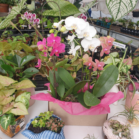 Gift Box Orchids - Assorted Colours LOCAL DELIVERY or PICKUP ONLY