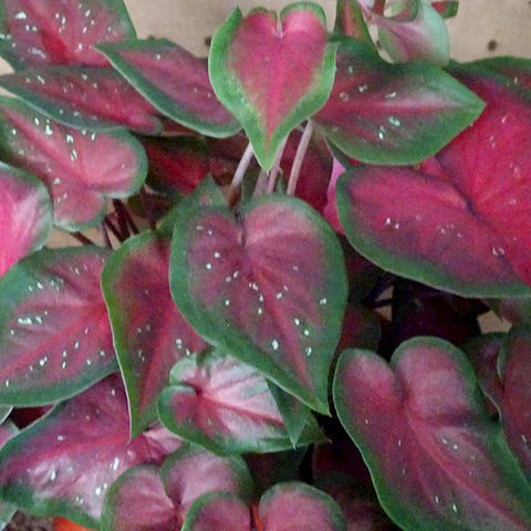 Caladium Red Speckles Dwarf COMING SOON
