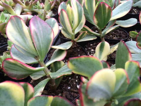 Crassula Bluebird variegated