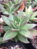 Echeveria Agavoides Red Edge