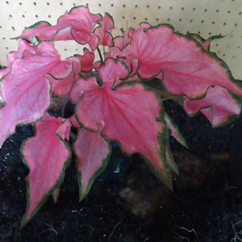 Caladium Pink Rush COMING SOON