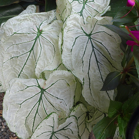 Caladium White Lace COMING SOON