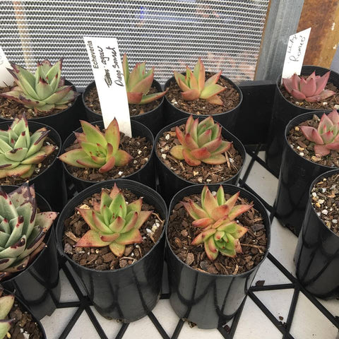 Echeveria Agavoides Diego Sunset - small
