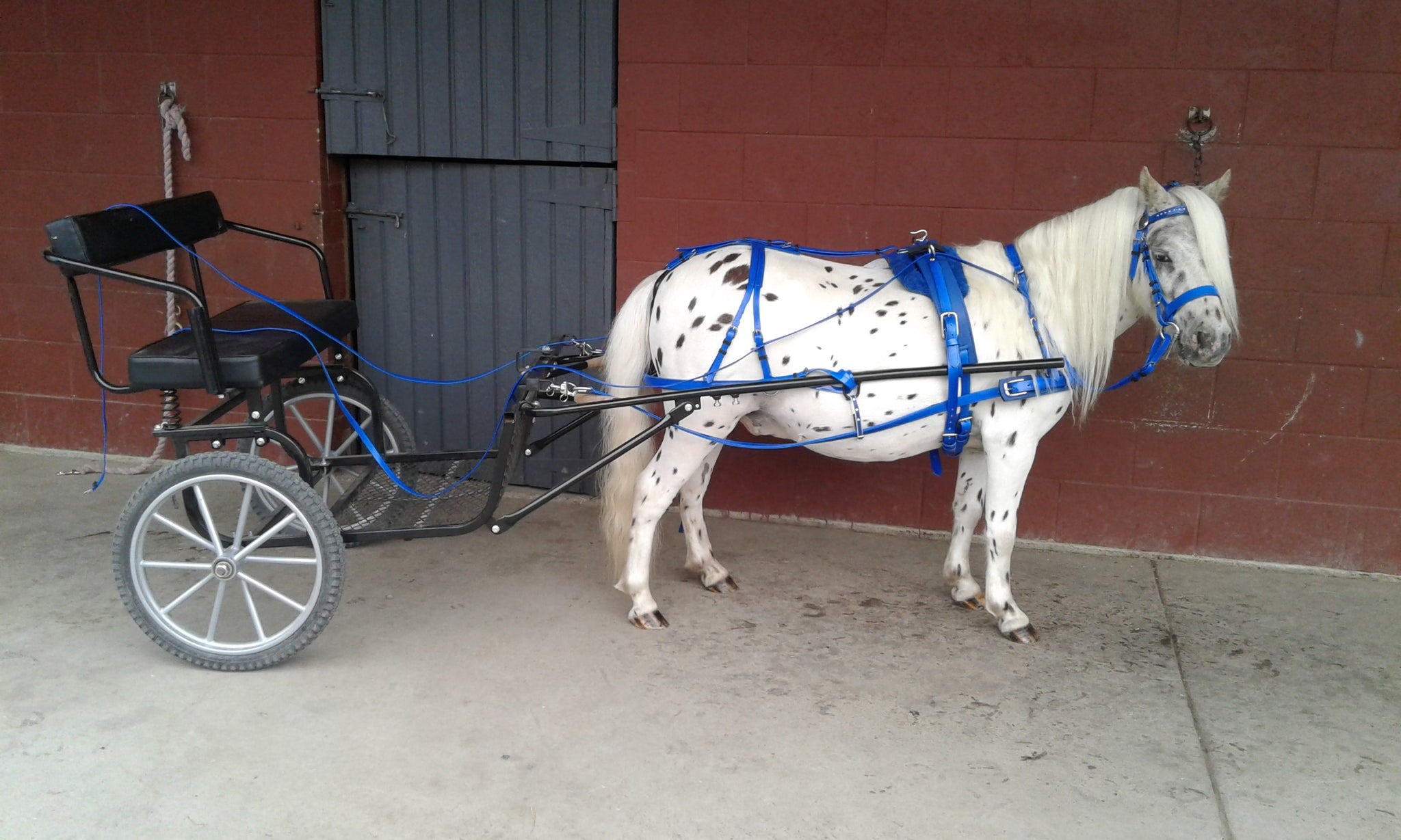 Blue Miniature Horse Driving Harness