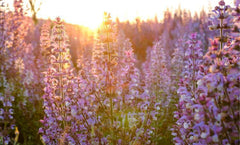 Clary Sage Essential Oil: Women's Emotions & Sexuality