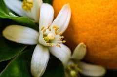 6 Emotional Benefits of Neroli Essential Oil: Life is Beautiful, Less Anxiety