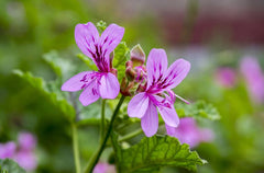 Geranium Essential Oil: Effective for Emotional and Mental Health