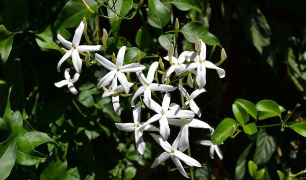 Jasmine Absolute Essential Oil: Sleep, Hormones & Happiness