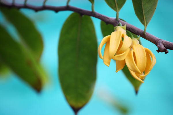 Ylang Ylang Essential Oil: Powerful Remedy for the Heart