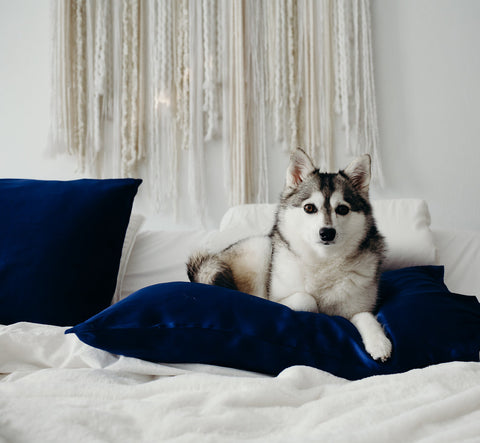 White and grey husky lying on bed