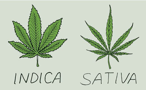 Drawing comparison of Indica and Sativa cannabis leaves