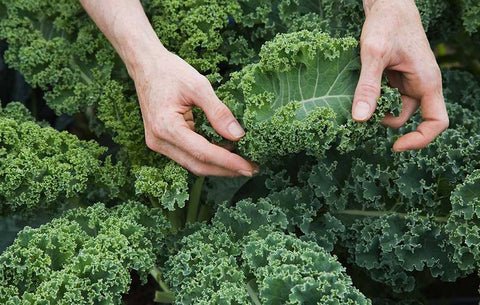 Hands holding kale leaf among kale bed