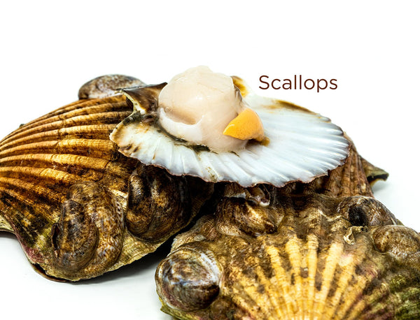 King Scallops (meat only) for sale - Parson's Nose